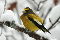 Evening Grosbeak in Winter Algonquin Park