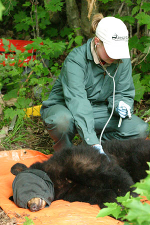 Bear Research Algonquin Park