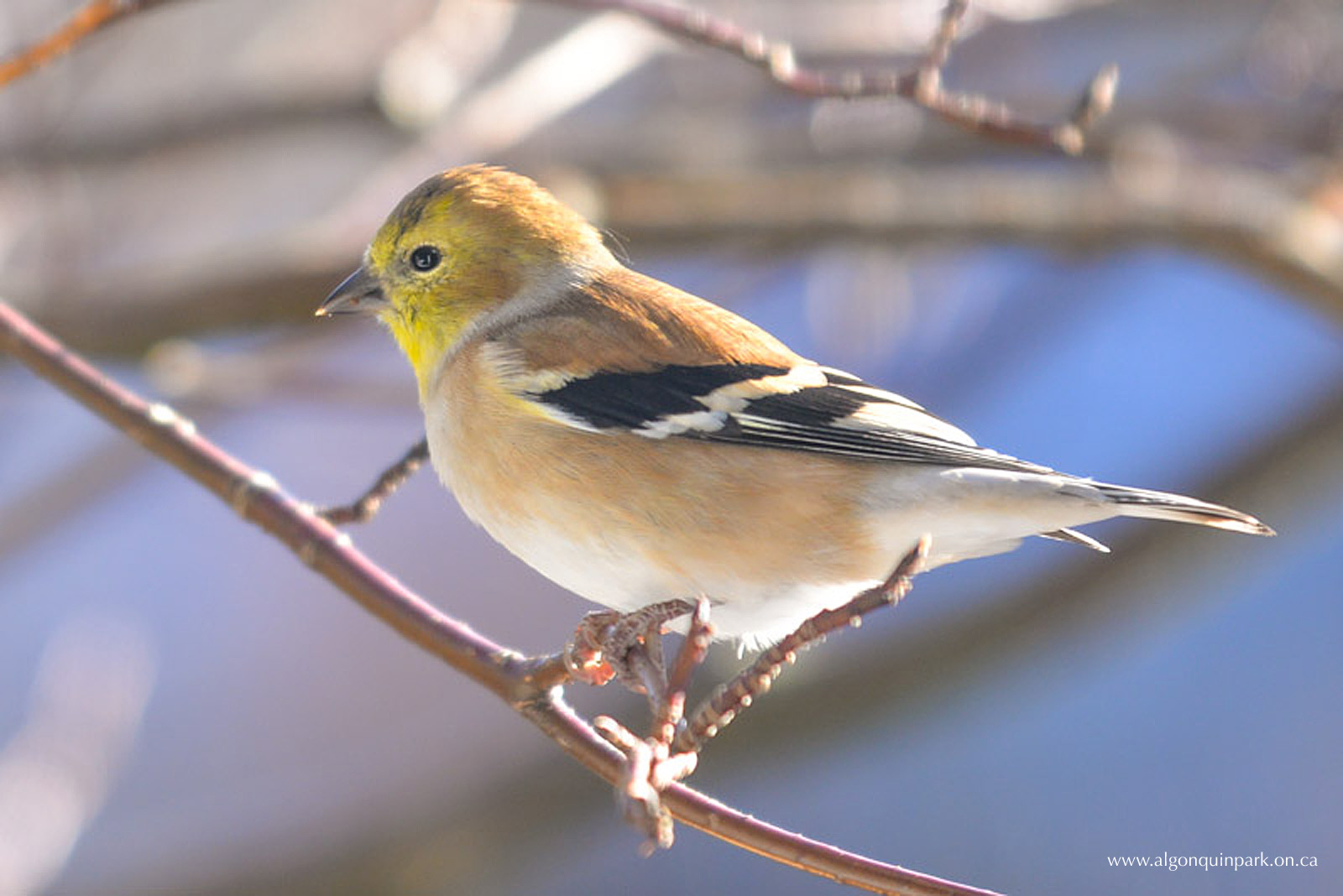 American Goldfinch in Algonquin Park