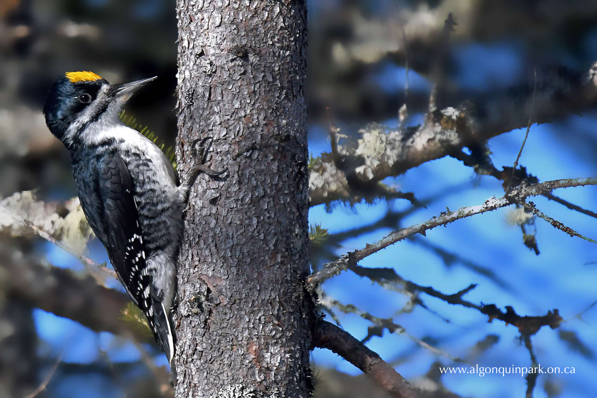 Image: Male Black-backed Woodpecker. Photo by Lev Frid