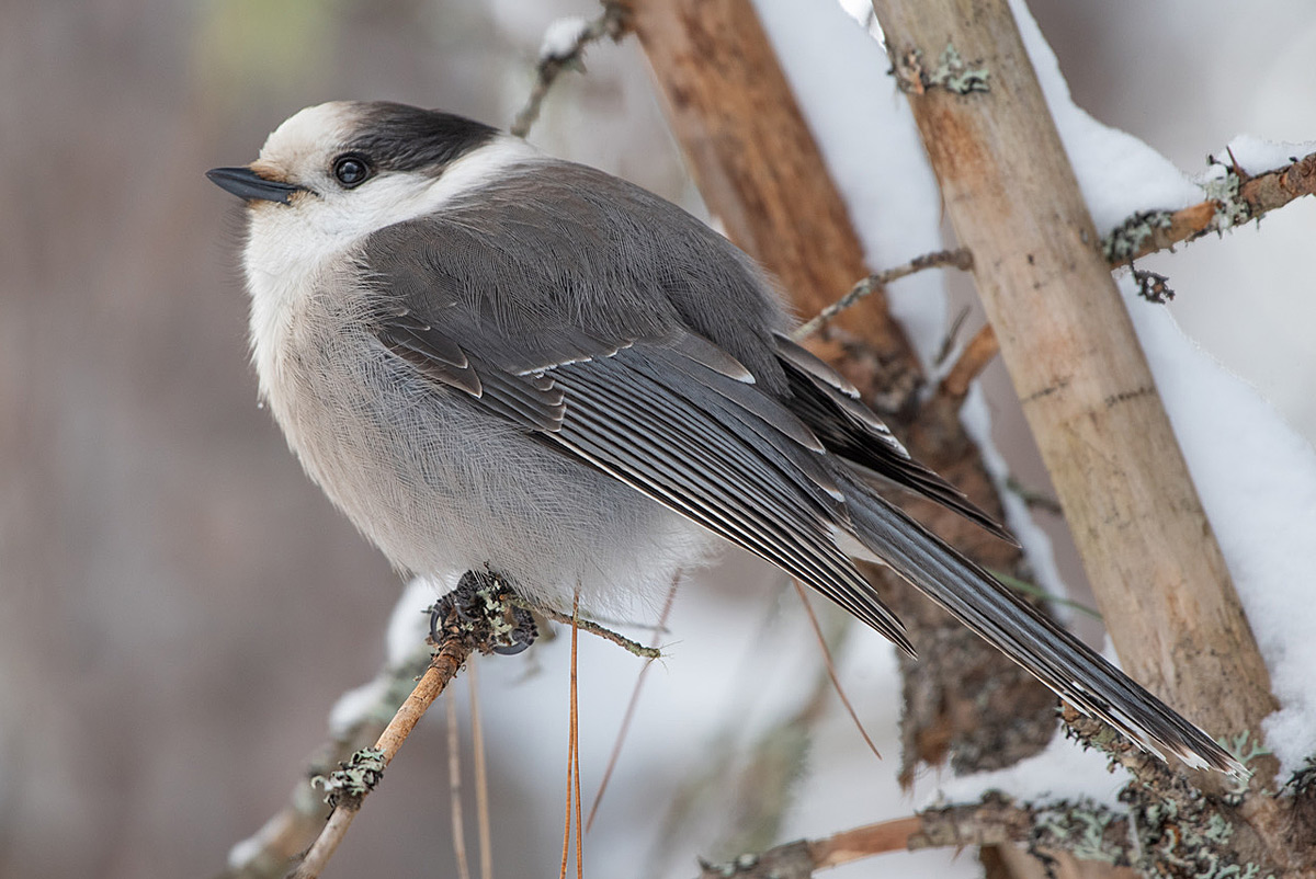 Canada Jay in Algonquin Park