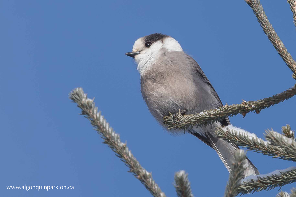 Canada Jay in Algonquin Park. Photo by Michael Runtz.