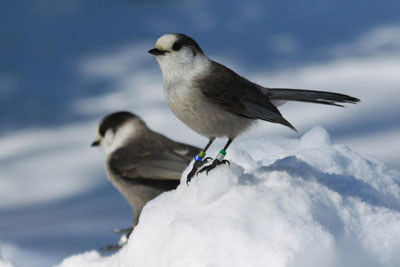 Gray Jays in Winter, Algonquin Park