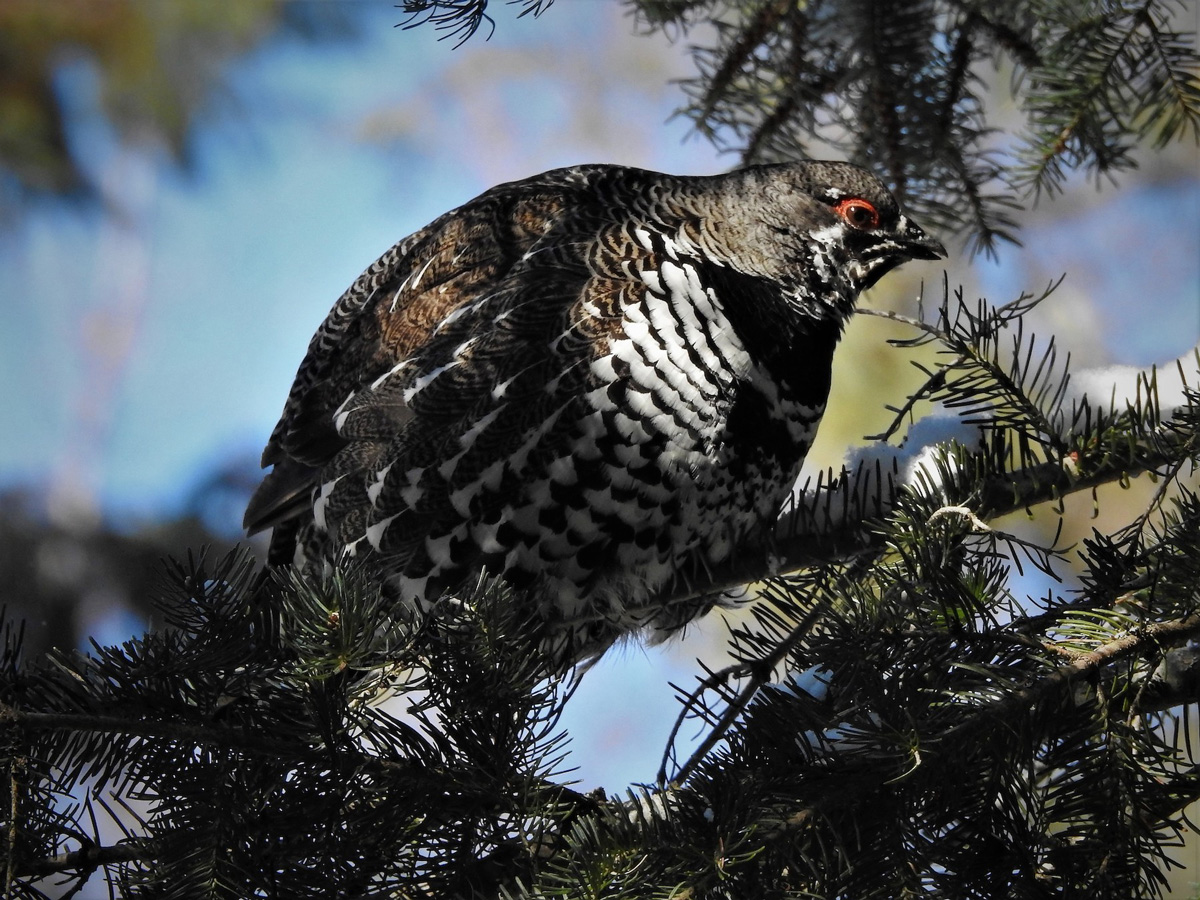 Male Spruce Grouse feeding on needles in Algonquin Park
