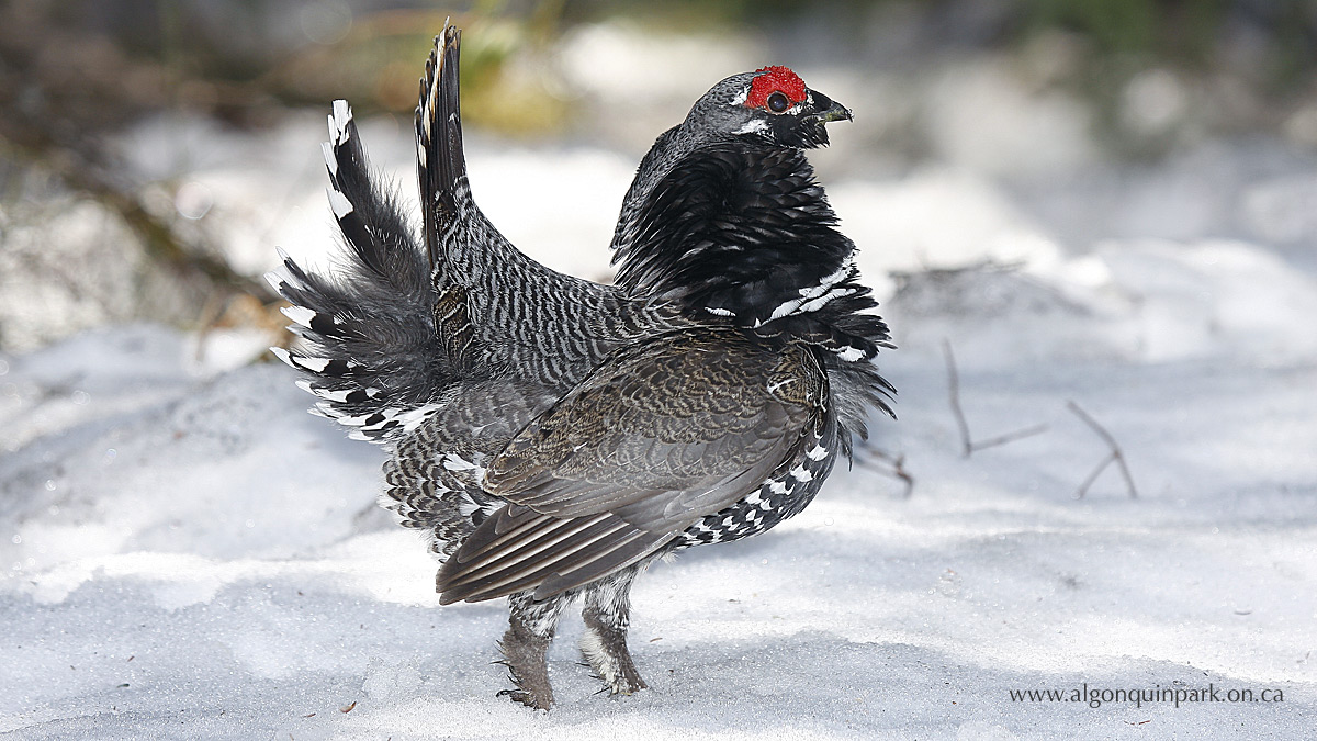 Male Spruce Grouse in Algonquin Park.