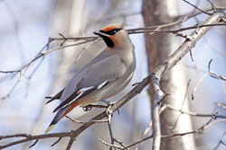 Bohemian Waxwing in Algonquin Park