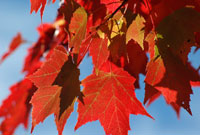 Red Maple Leaves During Fall in Algonquin Park