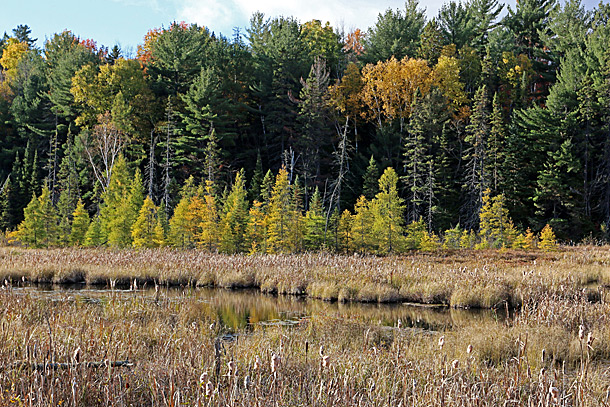 Tamarack in Algonquin Park on October 13, 2016