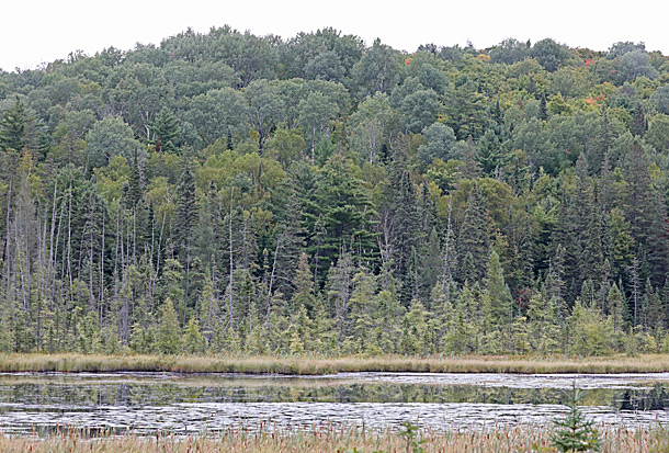 Poplar and Tamarack dominated area at km 41 of Highway 60 in Algonquin Park on September 8, 2020