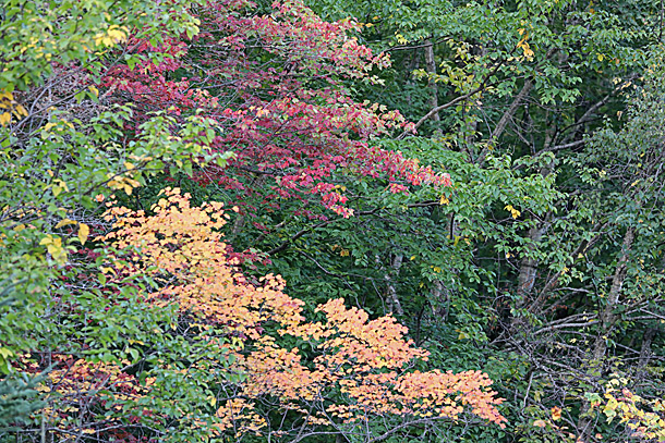 Maple fall colour in Algonquin Park on September 14, 2020