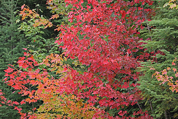 Maple fall colour in Algonquin Park on September 16, 2020