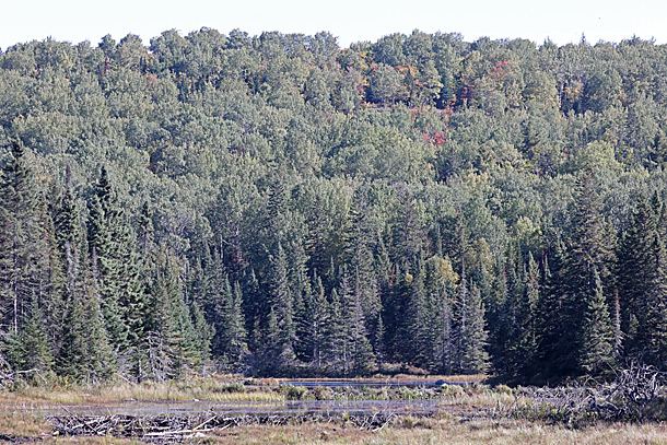 Aspen (poplar) dominated area near Leaf Lake Ski Trail in Algonquin Park on September 21, 2020. Aspen fall colour occurs after maples.