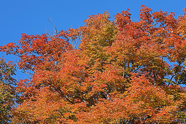 Maple fall colour in Algonquin Park on September 21, 2020