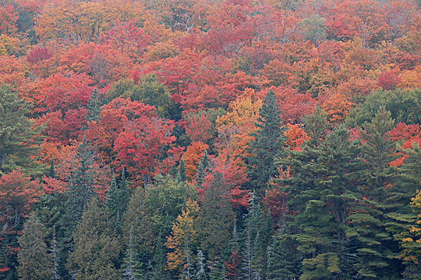 Maple fall colour in Algonquin Park on September 24, 2020