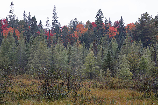 Green coloured Tamaracks in the foreground and maple fall colour along Highway 60 at km 18 in Algonquin Park on September 24, 2020