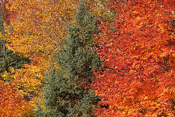 Fall colour along Highway 60 in Algonquin Park on September 28, 2020