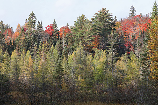 Tamarack fall colour along Highway 60 at km 18 in Algonquin Park on September 28, 2020