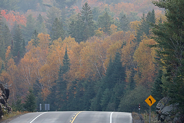 White Birches showing their yellow colour along Highway 60 at km 5 in Algonquin Park on September 28, 2020