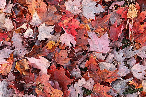 Red Maple leaf fall on September 28, 2020