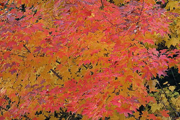 Maple fall colour in Algonquin Park on September 28, 2020