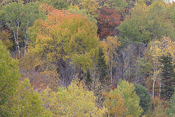 Aspen fall colour in Algonquin Park on October 6, 2020