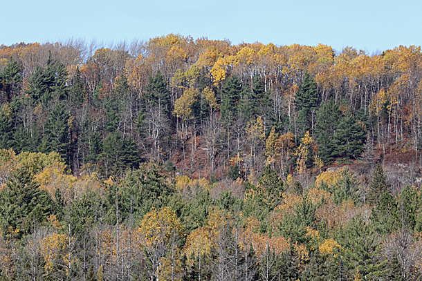Aspen fall colour in Algonquin Park on October 13, 2020