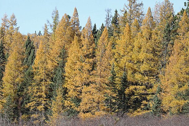 Tamarack fall colour in Algonquin Park on October 13, 2020