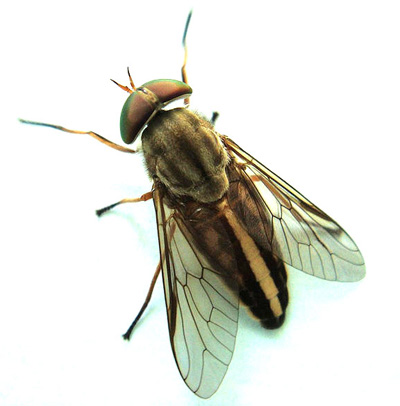 Mosquitoes & Black Flies (Biting Insects) | Algonquin