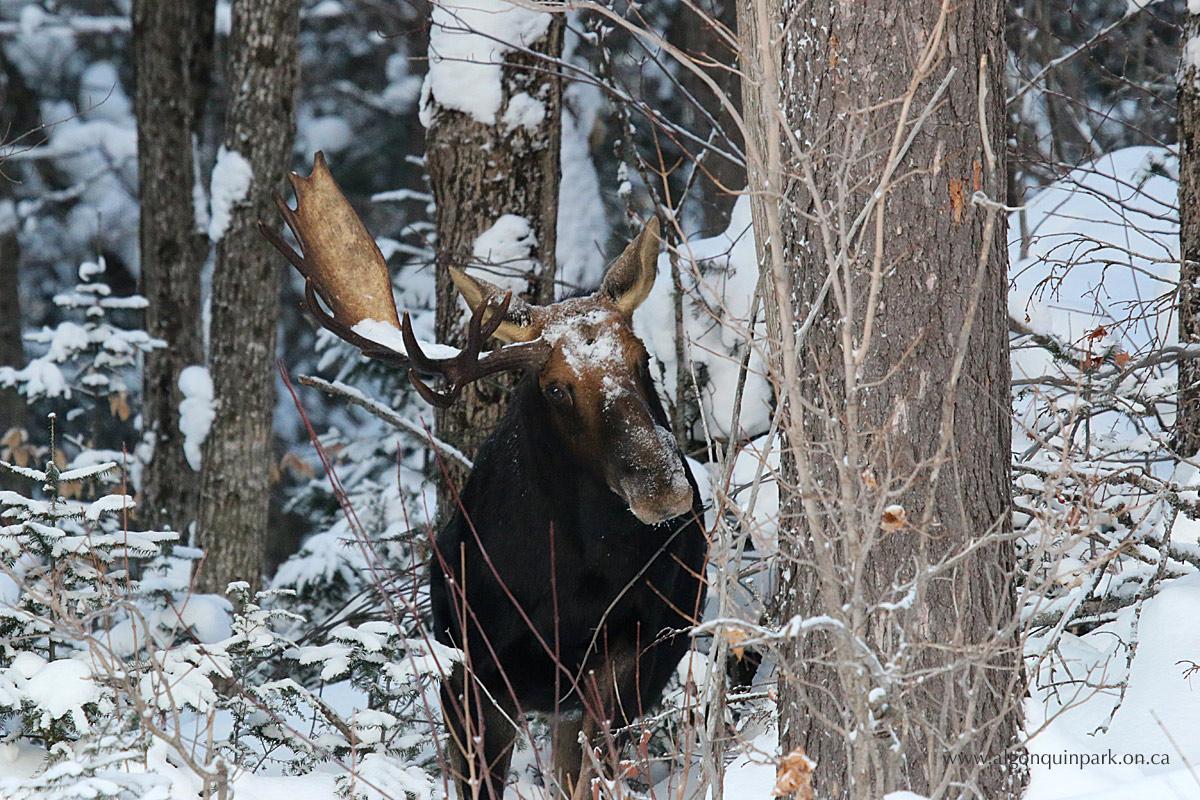Moose Antlers | Algonquin Provincial Park | The Friends of ...
