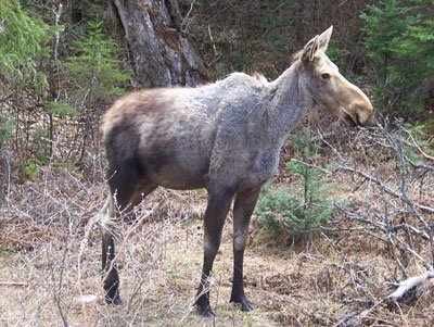 Moose showing moderate hairloss