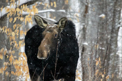 Moose in Winter, Algonquin Park