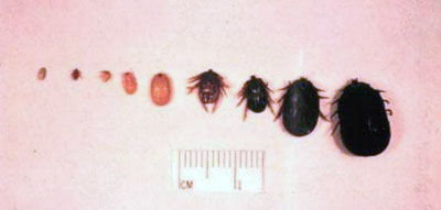 Life Stages of the Winter Tick
