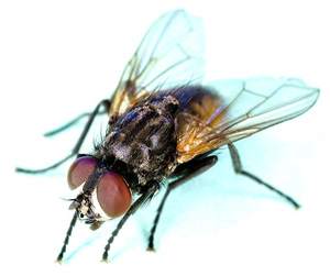 Image result for black flies dig flies